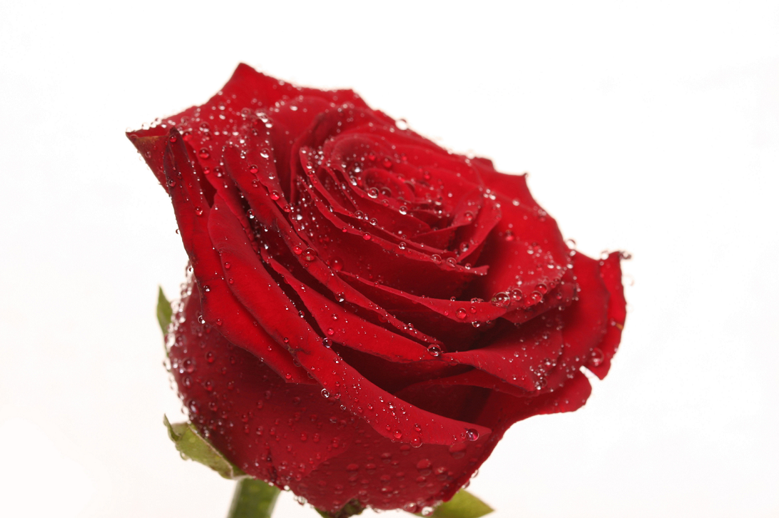 rosa-st-valentin